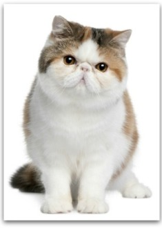 cute Exotic Persian cat
