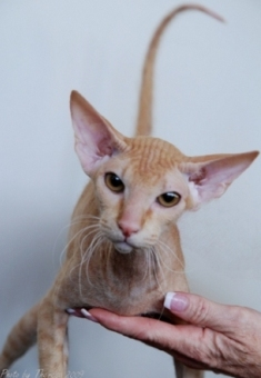 red Peterbald cat