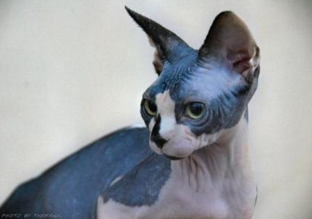 black and white Sphynx