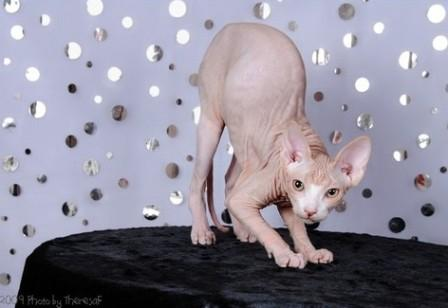 red-bi-color Sphynx cat