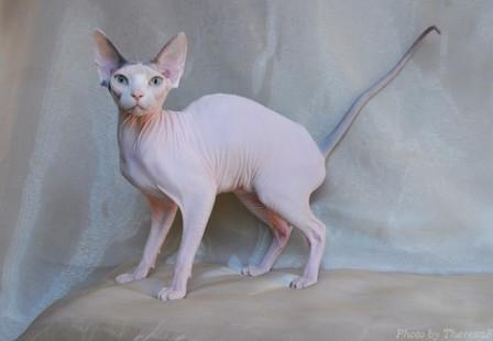 blue harlequin Sphynx cat