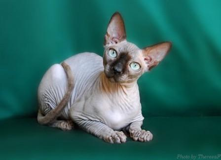 seal mink Sphynx cat