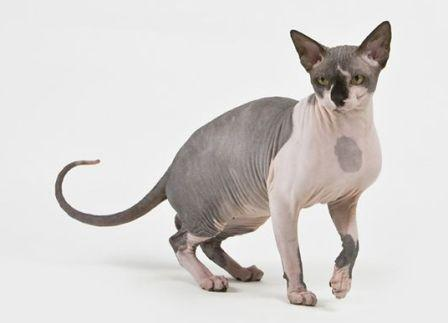 black and white Sphynx cat