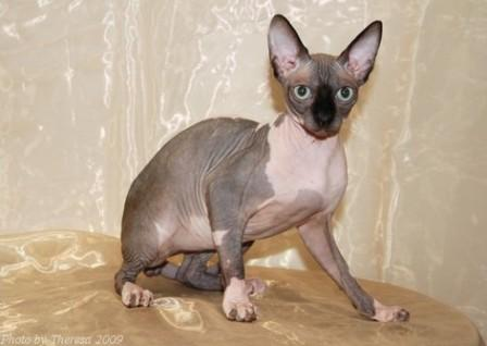 choc mink bi-color Sphynx cat
