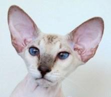 healthy cat ears