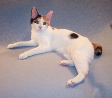 tri-color Japanese Bobtail cat