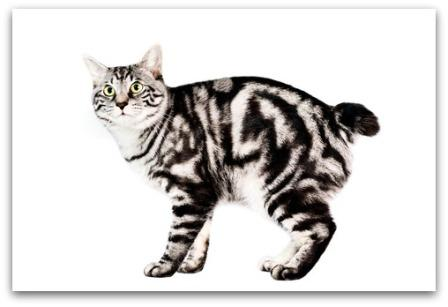 Kuril Bobtail cat