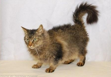 Brown Mackerel Tabby La Perm cat