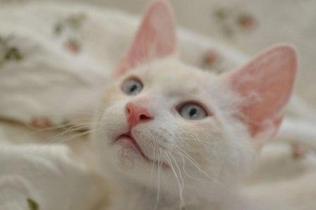 cream silver lynx point La Perm kitten