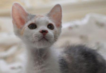 tortie female La Perm kitten
