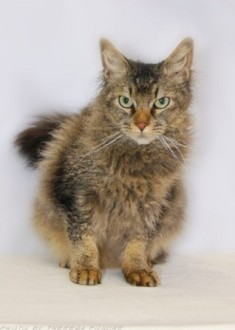 Brown Mackerel Tabby La Perm cat