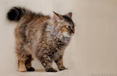 a very irritated La Perm cat
