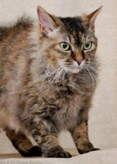 brown tortie tabby La Perm cat