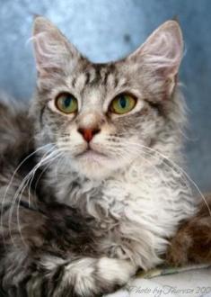 Choc silver tabby  bi-color La Perm cat