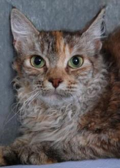 chocolate silver tortie  tabby