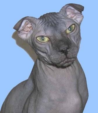 Levkoy cat