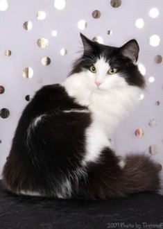 black and white Norwegian Forest Cat