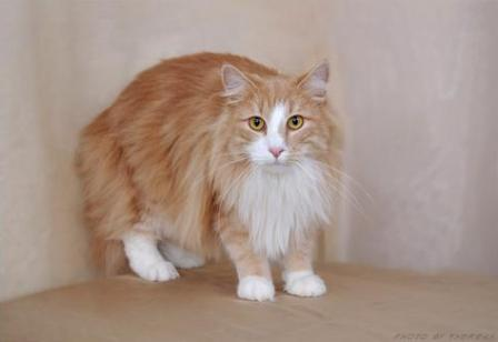 cream and white Norwegian Forest Cat