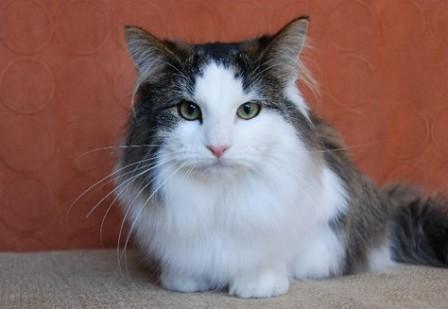 mackerel tabby bi-color Norwegian Forest cat