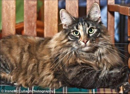 tortie Norwegian Forest cat