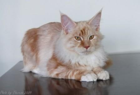 red silver classic tabby Maine Coon cat
