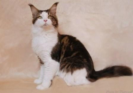 brown tabby and white Maine Coon