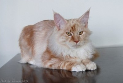 Maine Coon |Kernes Dallas Gold |Red Silver classic tabby  | Owner: D Gough | Breeder: Marianne Kernes