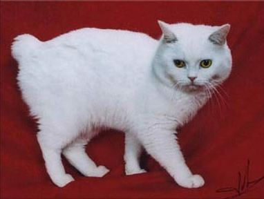 white Manx cat