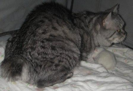 silver tabby Manx and kitten