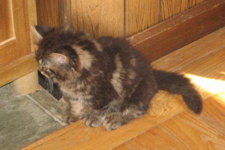 taily Manx kitten