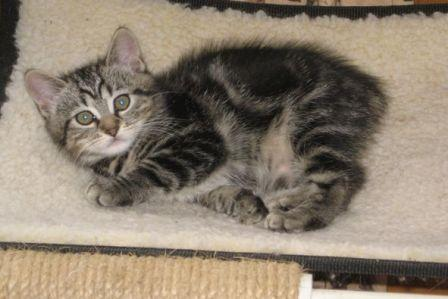 rumpy Manx kitten