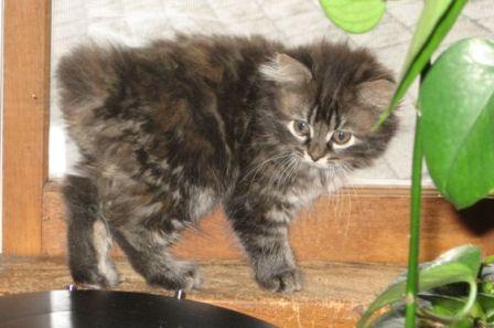 Manx kitten