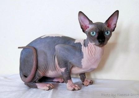 chocolate mink bi-color Sphynx cat