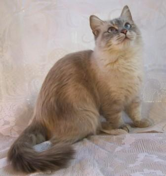 semi-longhaired, lynx point Munchkin cat