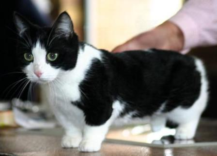 black bi-color Munchkin cat