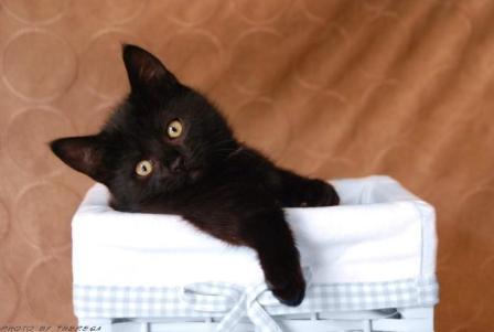 Black Munchkin Shoes Black Munchkin Kitten