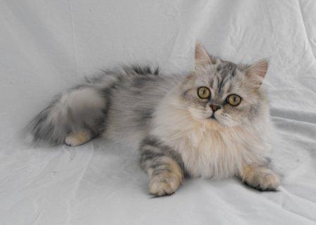 Juno, Napoleon cat