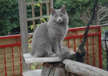 Nebelung Cats Breed Profile And Facts
