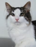 Norwegian Forest Cat – Legends Pearl Heart – owner Bev Smullen, Breeder Petra Smith
