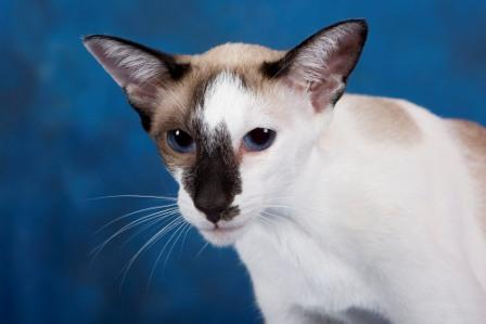 Oriental Shorthair cat  bi-color