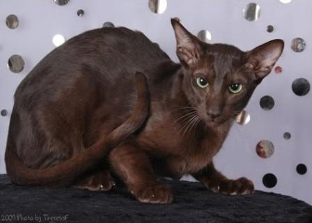 Oriental Shorthair cat brown or Havana