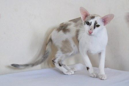 seal-calico point Oriental Shorthair