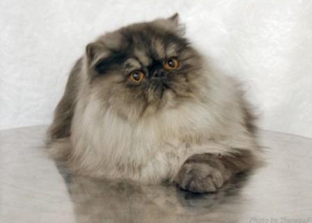 Persian cat, black smoke color