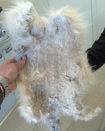 persian cat matted fur