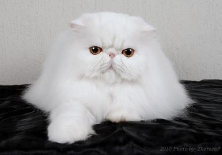 Persian cat, white with copper eyes
