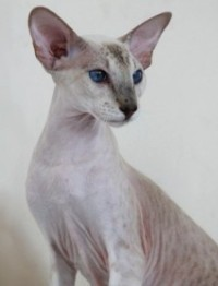 Peterbald |La Maska She's  a Phantom | Seal tabbypoint |owned and bred by Mariette Burger