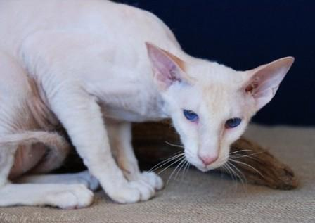 cream Peterbald cat
