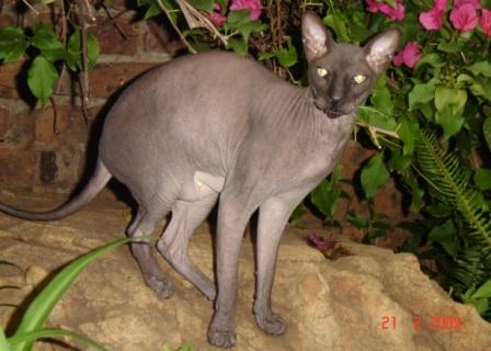 black Peterbald cat