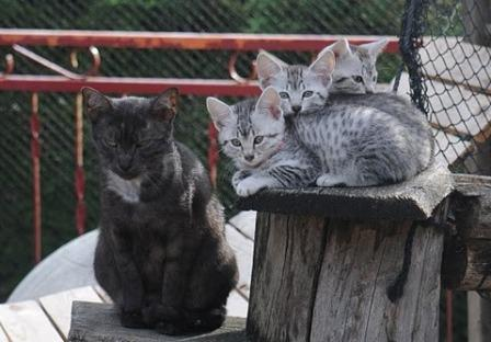 black Egyptian Mau and silver kittens
