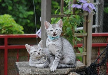 two silver Egyptian Mau kittens